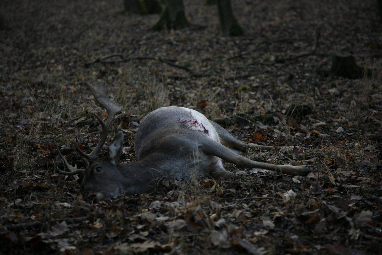 Fallow deer hunting by Jan Kadlec
